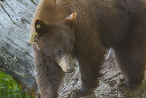 Bear Photo Clipart Image.