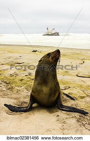 "Stock Images of ""Eared seal (Otariidae) sitting in front of a."
