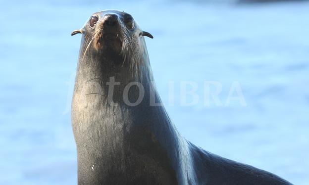 Eared Seal.