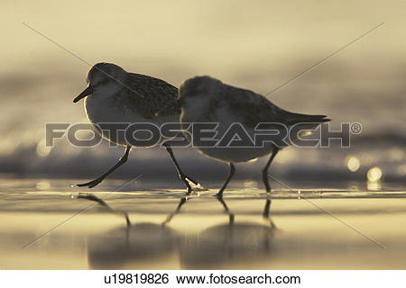 Stock Images of Sanderling (Calidris alba) running from incoming.