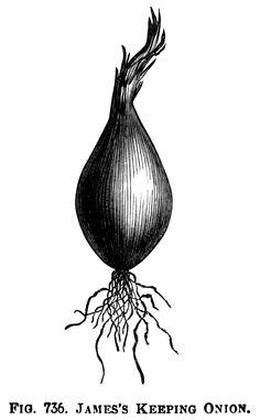 Trebons Onions ~ Free Vintage Clip Art Illustration.