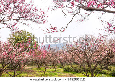 Chinese Plum Tree Stock Photos, Royalty.