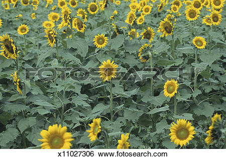 Stock Images of Sunflower field, early Summer x11027306.
