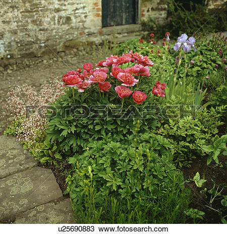 Stock Photo of Early summer perennial border with peonies,iris and.