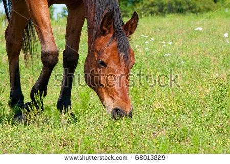 Horses Grazing Stock Photos, Royalty.