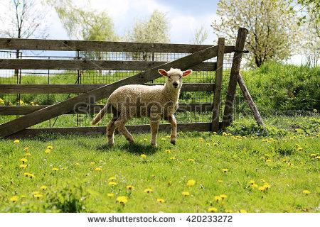 Sheep Front Grazing Stock Photos, Royalty.