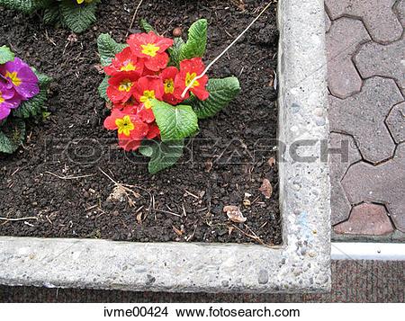 Stock Photo of paving tiles, primrose, Earth, flora, flowers.