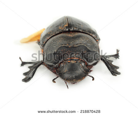 Earth-boring dung beetles clipart #6