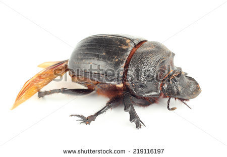 Earth-boring dung beetles clipart #10