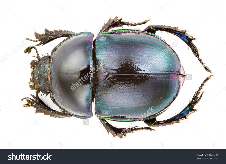 A Trypocopris Pyrenaicus, Earth.