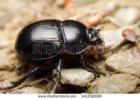 Earth-boring dung beetles clipart #1