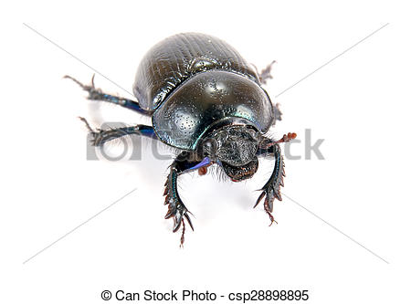 Stock Photographs of Geotrupes stercorarius, or earth.