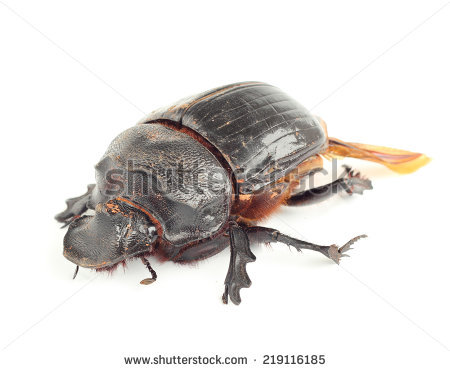 Earth-boring dung beetles clipart #14
