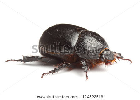 Earth-boring dung beetles clipart #15