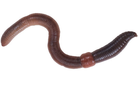 Earthworm Clipart.