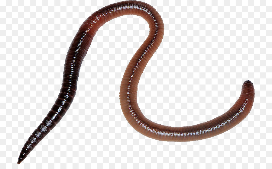 worm png clipart Earthworm Biology Common earthworm clipart.