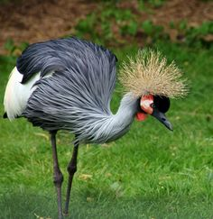 East African Crowned Crane.