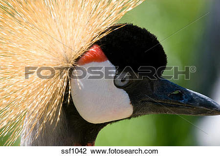 Stock Photo of Closeup of East African Crowned Crane, also known.