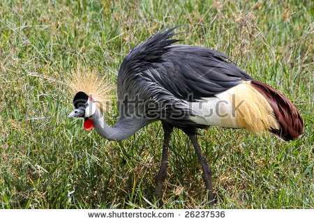 African Crowned Crane Stock Photos, Royalty.