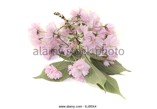 East Asian Cherry Stock Photos & East Asian Cherry Stock Images.