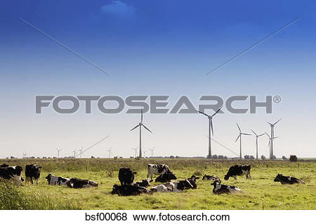 Pictures of Cows on a meadow with wind engines, East Frisia.