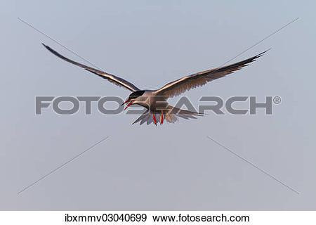 "Stock Photograph of ""Common Tern (Sterna hirundo), in flight, East."
