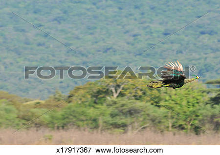 Picture of Peacock wild animal at Baluran East Java. x17917367.