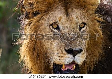 Stock Photo of Magnificent adult lion close up front.