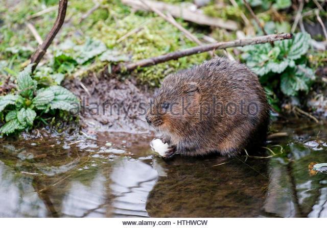 Rat Teeth Brown Stock Photos & Rat Teeth Brown Stock Images.