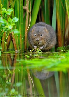 Water Vole with Blackberry.