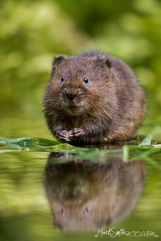 1000+ ideas about Vole Animal on Pinterest.