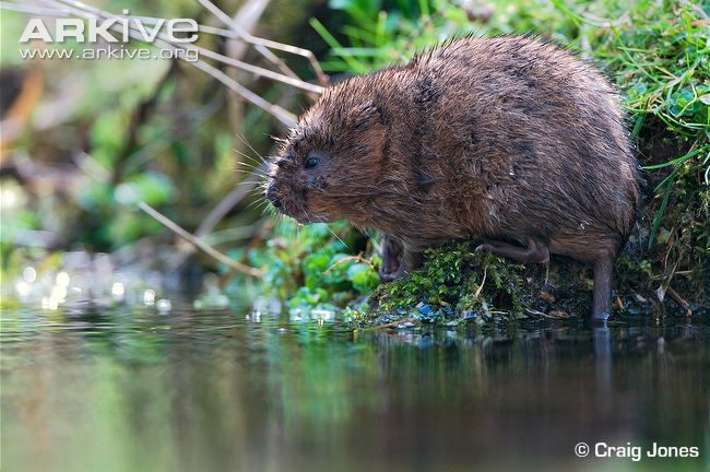 The water vole (Arvicola terrestris) is the largest and most.