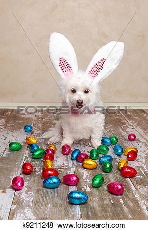 Pictures of Easter bunny dog looking at chocolate eggs k9211248.