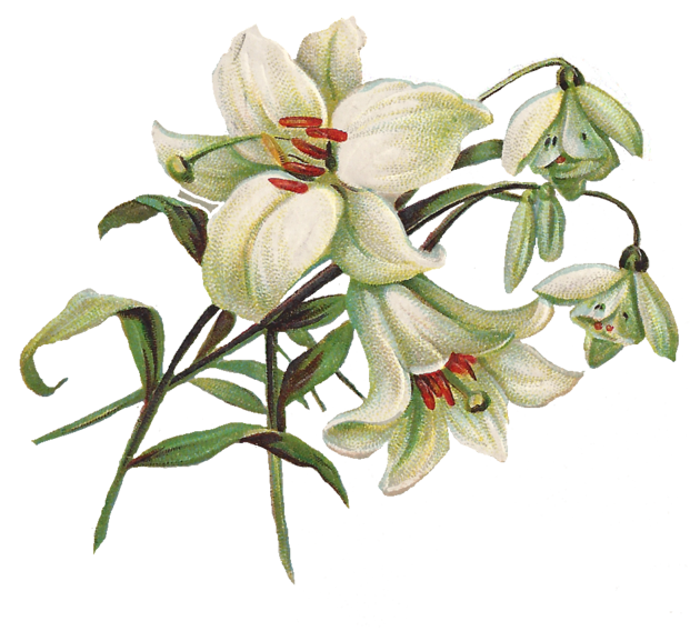 Easter Lilies Clipart Transparent Png.
