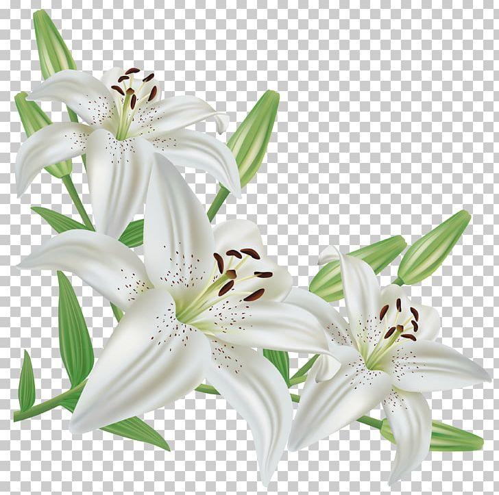 Lilium Candidum Easter Lily Lilium Regale Flower PNG, Clipart.