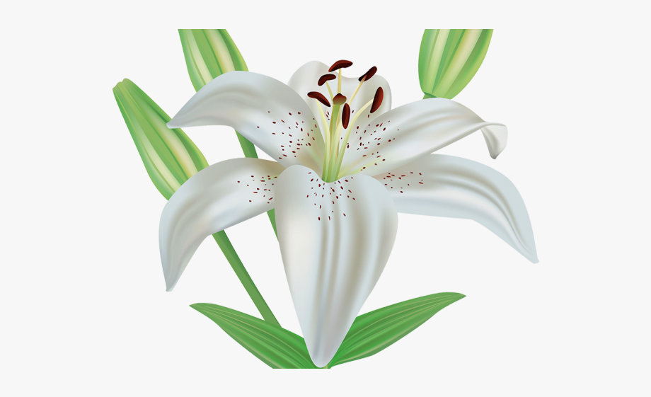 Lily Clipart Funeral Flower.