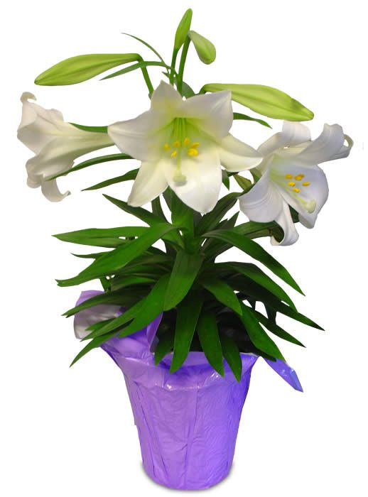 easter lilies clip art free.