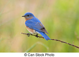 Bluebird Stock Photo Images. 2,032 Bluebird royalty free pictures.