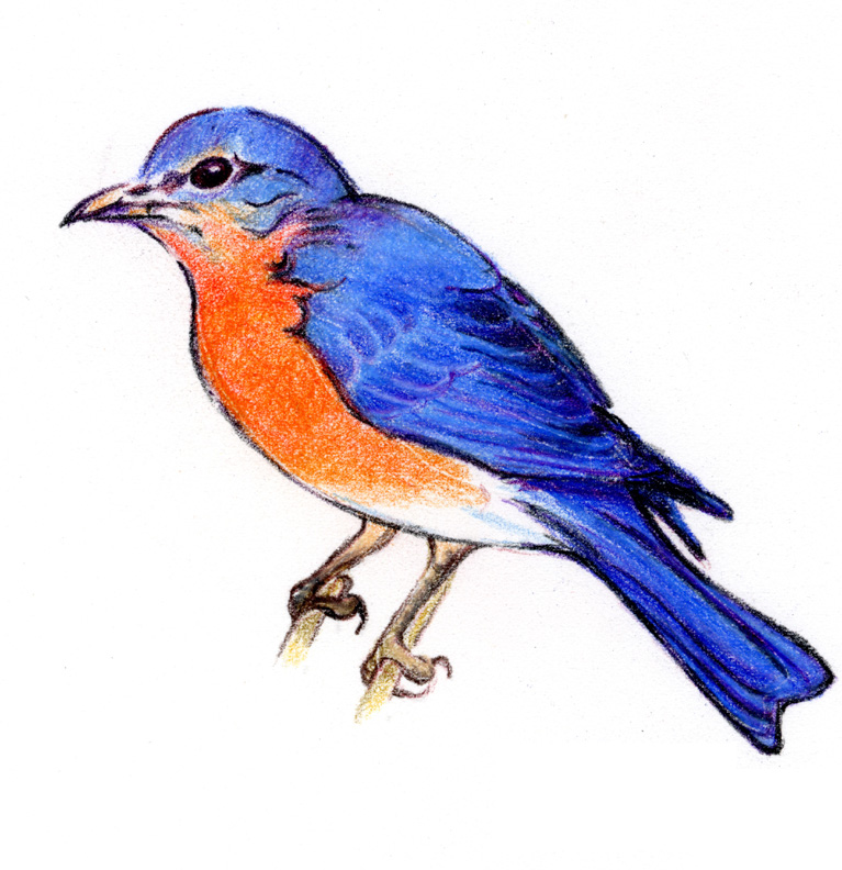 Eastern blue bird clipart - Clipground