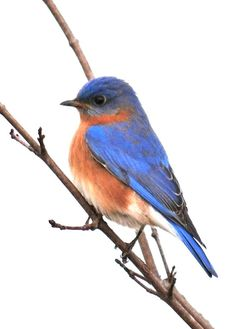 Blue Bird Drawings.