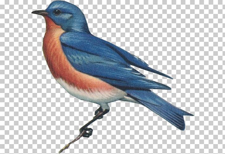 Work of art Artist Eastern bluebird, Eastern Bluebird PNG.
