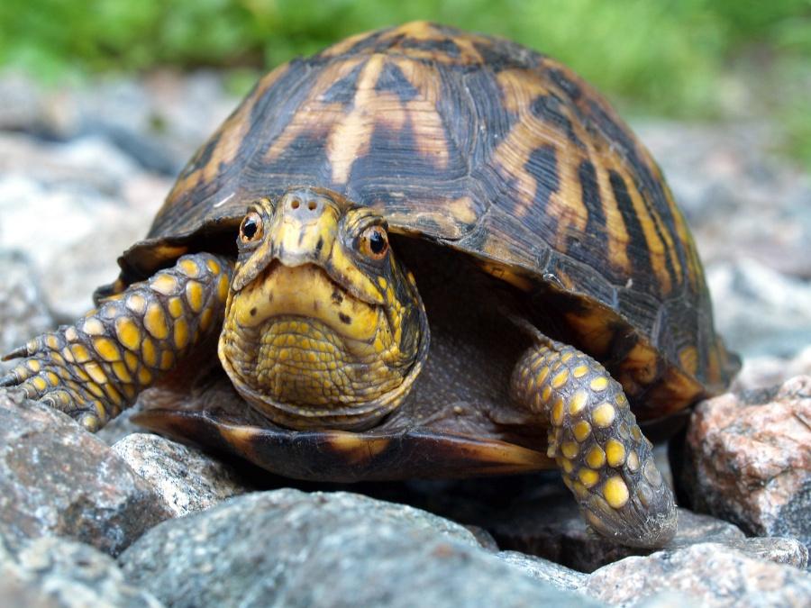 Eastern Box Turtle Terrapene carolina.