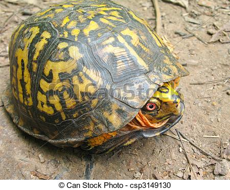 Stock Photography of Eastern Box Turtle (Terrapene carolina.