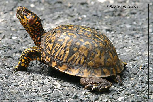 Eastern box turtle clipart #3