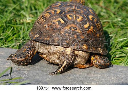 Stock Photography of Florida box turtle / Terrapene carolina bauri.