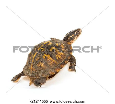 Stock Image of Eastern box turtle k21241555.