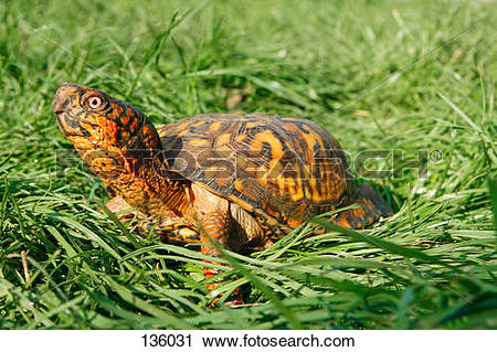 Stock Photography of eastern box turtle on meadow / Terrapene.