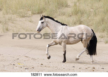 Stock Photography of East Coast Bred Horse. Dun adult walking on a.