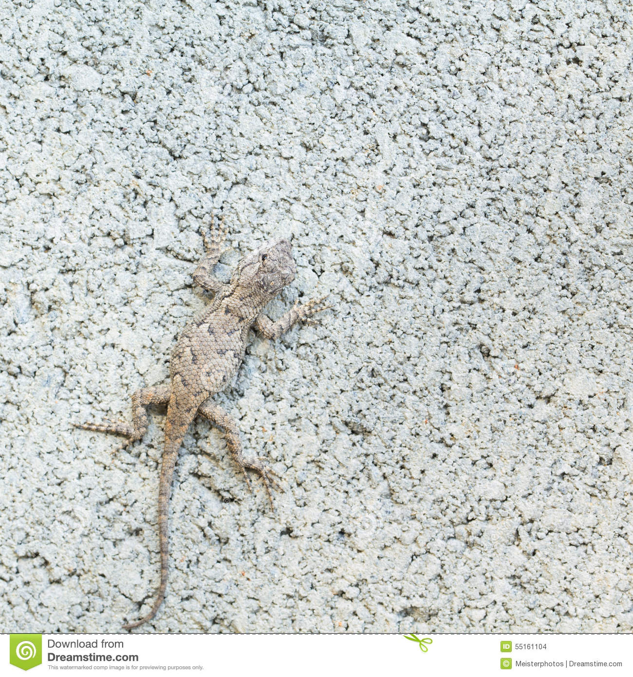 Close Up Of Eastern Fence Lizard In NC Stock Photo.