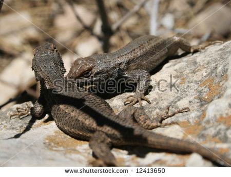 Fence Lizard Stock Photos, Royalty.